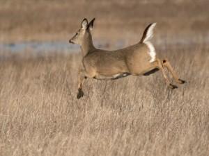 deer-flee